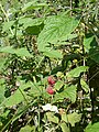 Wild raspberries - geograph.org.uk - 500096.jpg