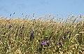 Wildflowers, Irish Beach (3089805066).jpg