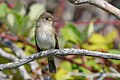 Willow Flycatcher (44572000681).jpg