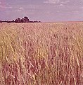 Winter wheat awaiting harvest in Kansas (1972).jpg