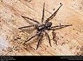 Wolf spider (Lycosidae) (30811106892).jpg