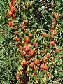 Wolfberries China 7-05.JPG