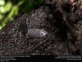 Woodlouse (Isopoda, Oniscidea) (25686779716).jpg