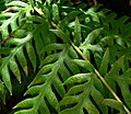 Woodwardia fimbriata 5.jpg