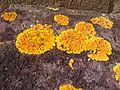 Xanthoria parietina - Wandsworth - 2013.04.11.jpg