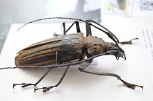 Giant Fijian long-horned beetle  Giant Horned Beetle