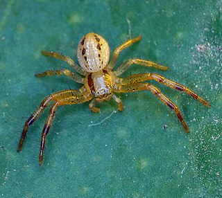 <i>Australomisidia cruentata</i> species of arachnid