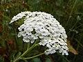 Yarrow (Achillea millefolium) (7949043792).jpg