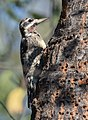 Yellow-bellied Sapsucker (37668479222).jpg