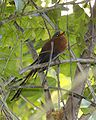 Yellow-billed Malkoha (Phaenicophaeus calyorhynchus) -Indonesia-6.jpg