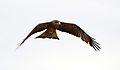 Yellow-billed kite, Milvus aegyptius, at Elephant Sands Lodge, Botswana (31438267613).jpg