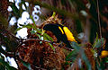 Yellow-rumped Cacique (Cacicus cela) (10624248923).jpg