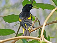 Yellow-rumped Cacique RWD.jpg