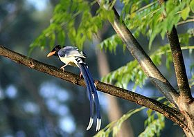 Yellow Billed Blue Magpie-Dogra.jpg