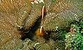 Yellow Clownfish (Amphiprion sandaracinos) (6082664293).jpg