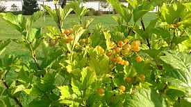 Yellow Viburnum.jpg