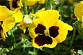 Yellow and brown pansy at Hulda Klager Lilac Gardens.jpg