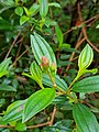 Young leaves of mangosteen.jpg