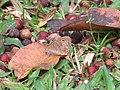 Ypthima sp. (39384138140).jpg