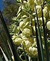 Yucca rigida 3.jpg