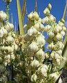 Yucca schidigera 27.jpg