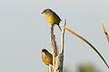Zapata Sparrow (Torreornis inexpectata).jpg