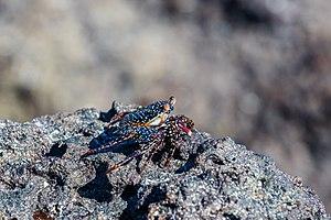 Grapsus grapsus - Image: Zayapa (Grapsus grapsus), Cerro Brujo, isla de San Cristóbal, islas Galápagos, Ecuador, 2015 07 24, DD 152
