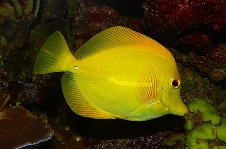 Zebrasoma flavescens, Yellow Tang