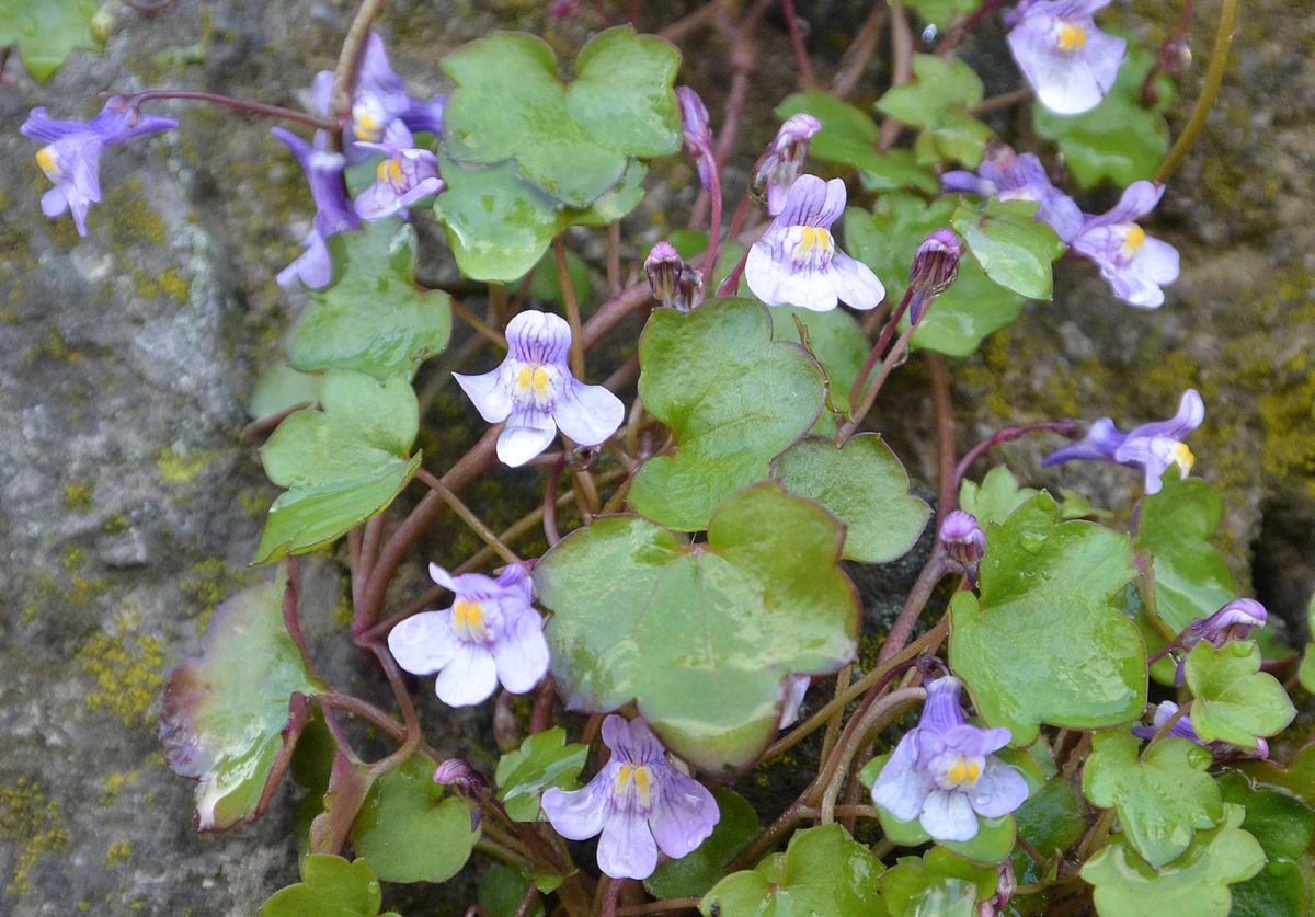Plante Sur Les Murs cymbalaire des murs — wikipédia