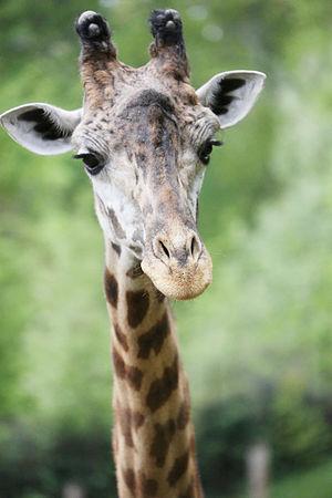 Greenville Zoo - Masai giraffe at the Greenville Zoo, in Greenville, South Carolina