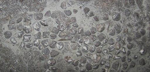 Zygospira brachiopods in fossiliferous limestone (Point Pleasant Limestone, Upper Ordovician; Bear Creek Quarry, east of Neville, Ohio, USA) 3
