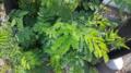 """+arya+"" Leucaena leucocephala ꦒꦺꦴꦝꦺꦴꦁ ꦠꦼꦩ꧀ꦧꦫ daun lamtoro - kukusan barat 2019.webp"