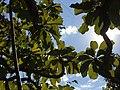 """""""chapéu-de-couro"""" - Salvertia convallariodora A.St.-Hil. - Vochysiaceae 07.jpg"""