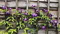 'Clematis viticella' Étoile Violette at Nuthurst, West Sussex, England.JPG