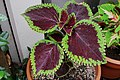 'Giant Exhibition Magma' Coleus IMG-5557.jpg