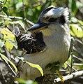 (1)Kookaburra 044.jpg