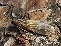 ?Eccopisa effractella (44144088264).jpg