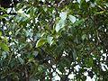¿ Allophylus (cobbe) ? (5596960035).jpg