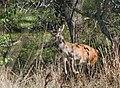 Благородный олень - Cervus elaphus - Red deer - Благороден елен - Rothirsch (37583884416).jpg