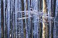 Буковий ліс в інії.jpg