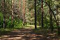 В сосновом лесу - panoramio (2).jpg