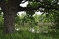 Дуб. Окраса Андріївськго лісу.jpg