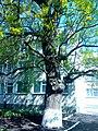 Дуб в Тростянці по вулиці Миру.jpg