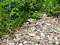 Змеи на Шокшинском полуострове - panoramio.jpg