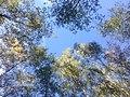 Небо над осіннім лісом, Садове.jpg