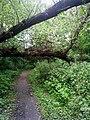 Упавшее дерево над тропинкой - Fallen tree over the path - panoramio.jpg