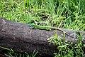 Ящірка - аборигенка заповідної Хортиці.jpg