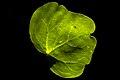 برگ-leaf 02.jpg