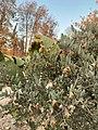 ثمار الجوجوبا في البيئة الصحراوية.jpg