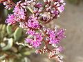 زهور فى قلب الصحراء - panoramio - youssef alam (3).jpg